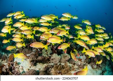 Schooling of bluestripe snapper Lutjanus kasmira in Gili, Lombok, Nusa Tenggara Barat, Indonesia underwater photo. There are soft coral Heteroxenia fuscescens and Capnella sp.