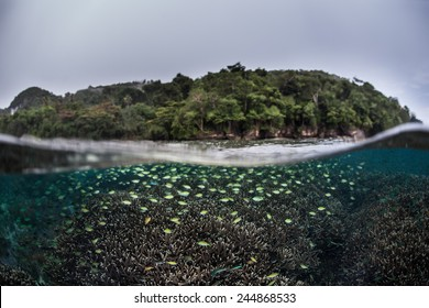 Schooling damselfish swarm above a coral reef in Raja Ampat, Indonesia. This region is part of the Coral Triangle and contains more marine life than anywhere else on Earth.