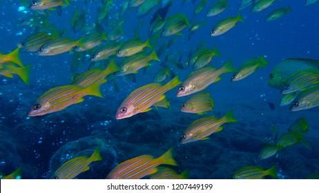 Schooling fish, Bigeye Snappers Lutjanus lutjanus at sabang under watter, Indonesia