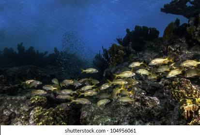 Schooling Fish on Molasses Reef in Key Largo, Florida. Diving at the John Pennekamp State Park. With a blue water background and lots of colorful coral.