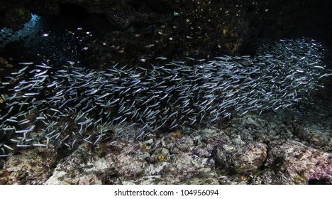 Schooling Fish on Molasses Reef in Key Largo, Florida. Diving at the John Pennekamp State Park.