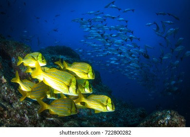 Schooling fish - snappers and jack fished. Underwater life in Pacific, around Coiba island, Panama, Central America.