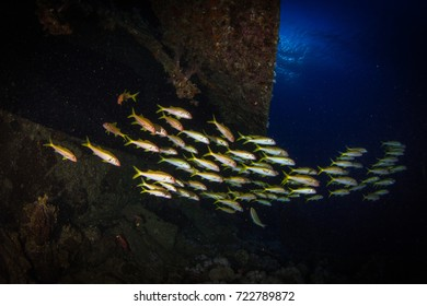 Schooling goat fish around the wreck. Red Sea, Egypt.