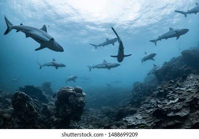 Schooling grey reef sharks, Ningaloo reef, Western Australia