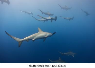 schooling hammerhead sharks