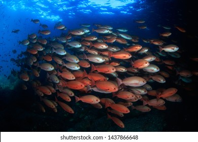 A schooling shoal of red Pinjalo Snappers. These colorful fish stand in the current sweetspot at an overhanging rock and form a dense school. Scuba Diving Indonesia, Eco Dive travel