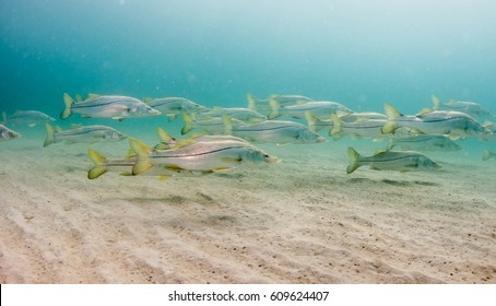 Schooling Snook fish under a pier in south Florida.