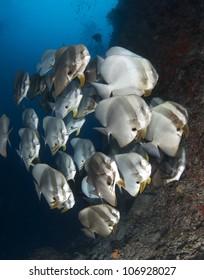 Schooling Spade Fish
