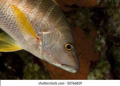 Schoolmaster (Lutjanus apodus), Bonaire, Netherlands Antilles