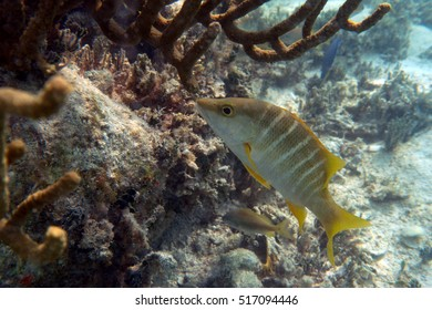 Schoolmaster snapper in front of coral, Antigua.
