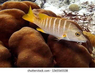 Schoolmaster Snapper or Lutjanus Apodus on a Bonaire coral reef