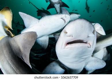 Schools of Banded Houd Sharks in Chiba, Japan