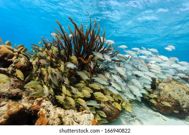 Schools of colorful fish on the coral reef in Hol Chan Marine Reserve
