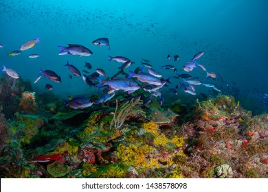 Schools of Creole Wrasse in the beautiful coral and blue waters of the Caribbean off the island of Grenada.