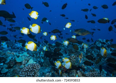 Schools of pyramid butterfly fish and unicorn fish swim over a deep rocky reef in Hawaii's clear blue tropical ocean.