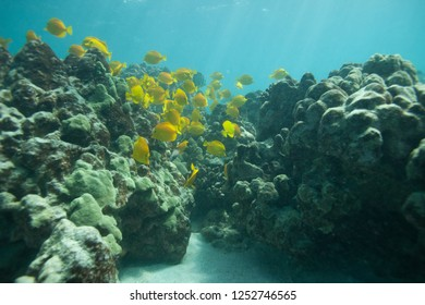 Schools of tropical fishes swim over the beautiful coral reef in Hawaii