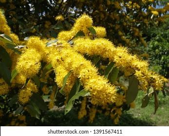 Schoutenia glomerata King subsp.peregrina (Craib) Roekm or Yellow star tree
