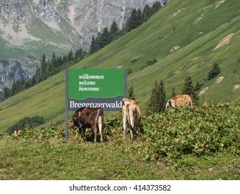 SCHROECKEN, AUSTRIA, JUNE 30: Some cows standing by the Bregenzerwald sign in Austria, 2015.