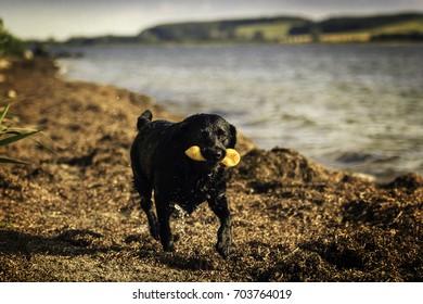 Schwarzer Labrador mit gelben Spielzeug im Maul läuft am Strand in Richtung Kamera!