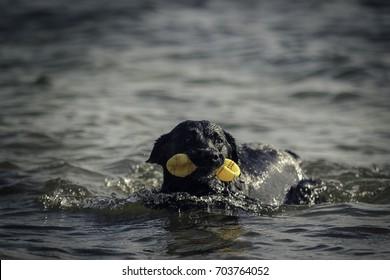 Schwarzer Labrador schwimmt mit Spielzeug im Maul durch das Wasser!