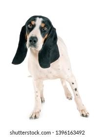 Schweizer Laufhund in front of white background