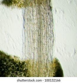science botany micrograph plant arabidopsis thaliana root tissue  micro