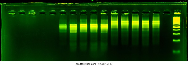 the science DNA analysis by PCR-RFLP of Apis mellifera by gel electrophoresis, PCR band of honey bees, DNA sequencing technique and gel electrophoresis.