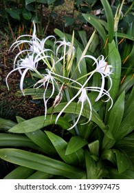 Science name Hymenocallis littoralis(Jacg.)Salisb or Spider Lily, Beach Spider Lily white flower and long pollen blooming with green leaves in the garden.