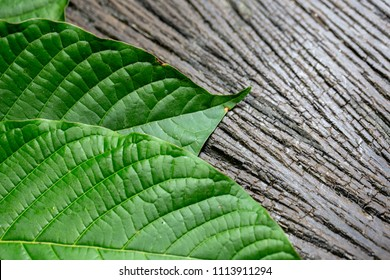 Science Research leaves of Mitragyna speciosa (kratom), Science Research drug plant with pills Chemical analysis in Lab.