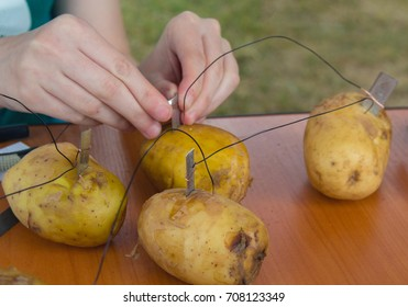 Scientific experiment on extracting electricity from potatoes. Science