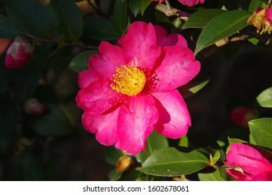 Scientific name is Camellia sasanqua 'Shishigashira'.