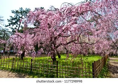 Scientific name is Cerasus itosakura (Sieb.) Masam. & Suzuki f. itosakura Kyoto Imperial Palace Park is called Kyoutogyoen. Kyoutogyoen is a nation park. Cherry trees in full blossom of Kyoutogyoen.
