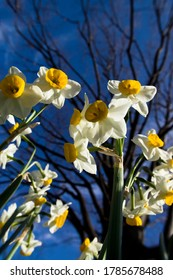 Scientific name is Narcissus tazetta var. chinensis.