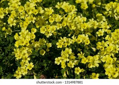 Scientific name is Oxalis pes-caprae(=Oxalis cernua).English name is buttercup oxalis.