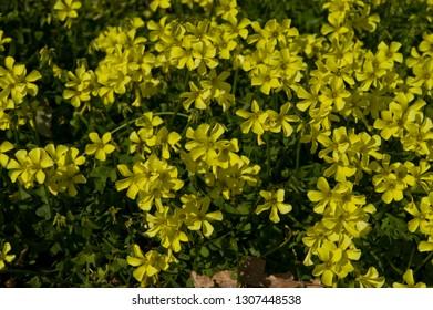 Scientific name is Oxalis pes-caprae(=Oxalis cernua). English name is buttercup oxalis.