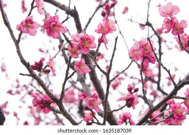 Scientific name is Prunus mume. English name is Japanese apricot.