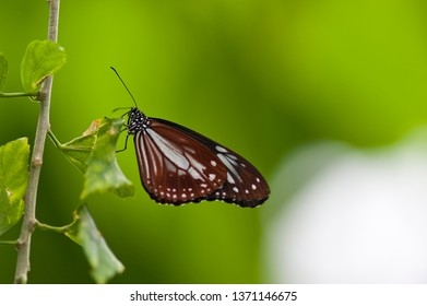 The scientific name of this butterfly chestnut tiger. Scientific name is Parantica sita.