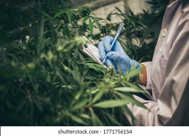 scientist checking organic hemp wild plants in a cannabis weed commercial greenhouse. Concept of herbal alternative medicine, cbd oil, pharmaceptical industry