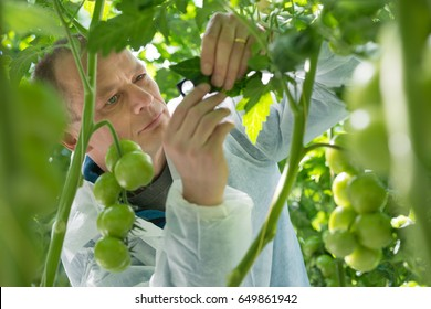 Scientist Examining Leaf Of Tomato Plant In Greenhouse