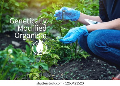 Scientist genetic engineer with a tablet testing the plant for the presence of genetic modification. Organisms and products polluted with GMOs