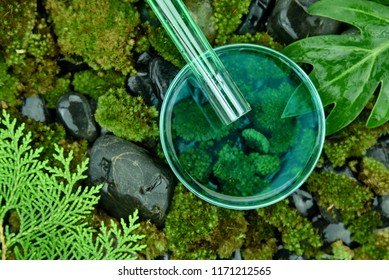 Scientist pouring organic essence substances in to the petri dish, Cosmetics and skincare formulating by pure natural plant, Mosses and pine leaves background, Drug research and development concept.