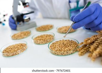 Scientist taking wheat with pincette at lab for research food, close up