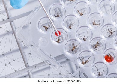 Scientist. Test Research of dengue fever aedes, of disease. in lab.