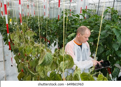 Scientist Using Digital Tablet Amidst Bell Pepper Plants In Greenhouse