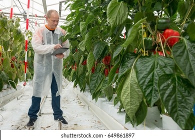 Scientist Using Digital Tablet By Bell Pepper Plants In Greenhouse