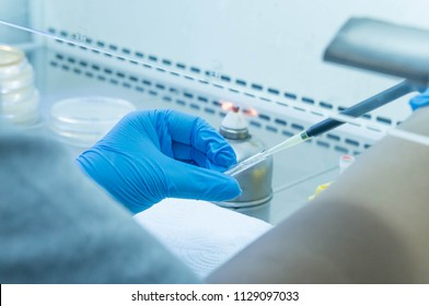 scientist wear blue glove, soft focus she is holding glass ampoule and pipetting bacteria to medium plate, it is a freeze dried culture of bacteria in laminar flow hood by aseptic technique