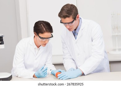 Scientists working attentively with tomato in laboratory