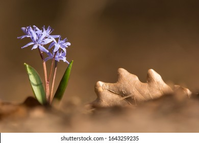 Scilla bifolia or Alpine squill or two-leaf squill, herbaceous perennial growing from an underground bulb, genus Scilla in family Asparagaceae with twin lance-shaped leaves