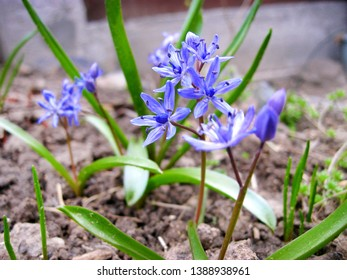 Scilla bifolia flower closeup. Scilla bifolia (alpine squill or two-leaf squill) is a herbaceous perennial growing from an underground bulb