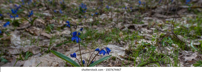 Scilla flowers in a deciduous forest on a background of dry leaves. Early spring, March. Web banner.